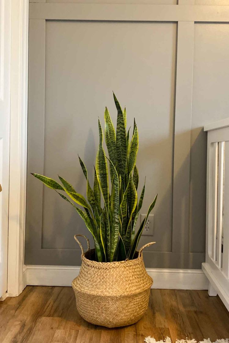 A snake plant in a boho planter next to the crib.